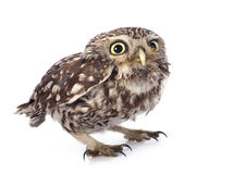 Little owl. In front of white background stock image