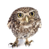 Little owl. In front of white background royalty free stock image