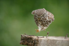 Little owl in full run. A little owl runs along an old piece of wood with rusty nails royalty free stock image