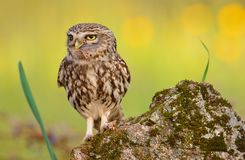 A little owl with a grasshopper. A little owl with a grasshopper on the beak stock image