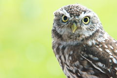 Little Owl. A little owl with a green background. It is part of the true owl family, Strigidae Royalty Free Stock Photography
