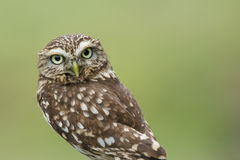 Little owl on green, with copy space, isolated Royalty Free Stock Photos
