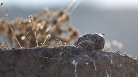 Little Owl Hiding Stock Photos