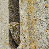 Little owl hiding in cement pillar Royalty Free Stock Photography