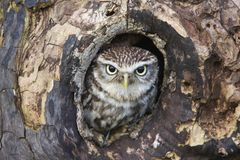 Little Owl Hiding In Hole In Tree Stock Photography