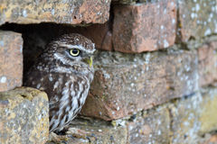 Little Owl Hiding In Hole In Wall Royalty Free Stock Image