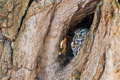 Little owl hiding in a tree Stock Image