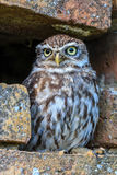 Little Owl in a hole in a wall Royalty Free Stock Photography