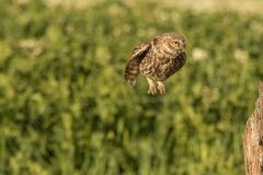 Little owl hovering. This is a photograph of a little owl that is hovering to a tree stump royalty free stock images