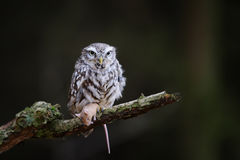 Little owl with hunted down mouse. Prey sitting on tree branch with dark forest blurred background stock photography