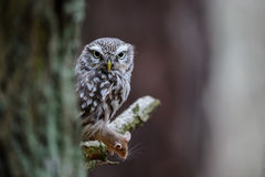Little owl with hunted mouse next to tree trunk Royalty Free Stock Photo