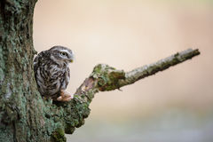 Little owl with hunted mouse royalty free stock images