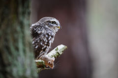 Little owl with hunted mouse stock image