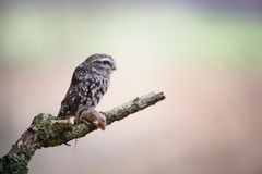 Little owl with hunted mouse stock photo