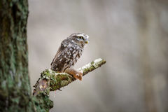 Little owl with hunted mouse Stock Images