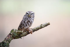 Little owl with hunted mouse on tree brunch. Little owl with hunted mouse prey sitting on tree brunch with blurred background stock photo