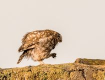 Little owl walking along on the prowl royalty free stock photos