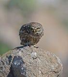 Little Owl. At Ipsilou Monastery,Lesvos stock photography