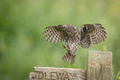 Little owl landing. A little owl coming in to land on an old signpost stock photo