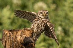Little owl landing. This is a photograph of a little owl which has just landed on a tree stump royalty free stock image