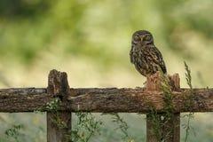 Little owl Stock Image