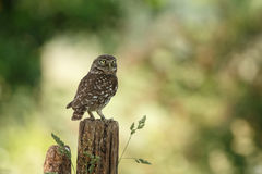 Little owl Royalty Free Stock Photography