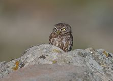Little Owl. At Ipsilou,Lesvos royalty free stock images