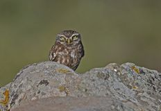 Little Owl. At Ipsilou,Lesvos royalty free stock image