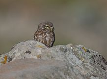 Little Owl. At Ipsilou,Lesvos royalty free stock photos