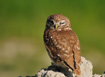 Little Owl, Royalty Free Stock Images