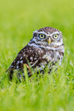 Little Owl in long grass Stock Image