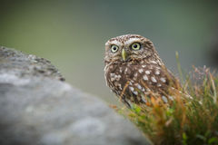 Little owl in long grass Royalty Free Stock Photos