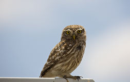 Little Owl Looking Curiously Royalty Free Stock Images