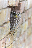 Little Owl Looking Out of a Hole in a Wall Royalty Free Stock Photo