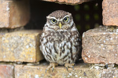 Little Owl Looking Out of a Hole in a Wall Stock Photography