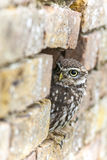 Little Owl Looking Out of a Hole in a Wall Stock Photos
