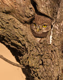 Little Owl looking out of it´s nest. A Little Owl chicken (Athene noctua) at the entrance of it´s nest in an old almond tree royalty free stock photo