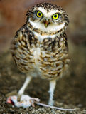 Little owl with mouse Stock Image