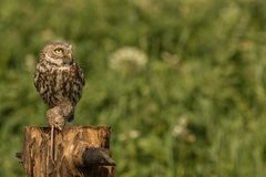 Little owl with a mouse Royalty Free Stock Photography