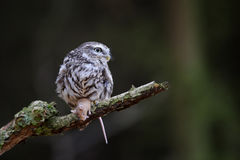 Little owl with mouse prey Stock Photo