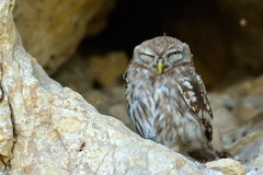 Little owl in natural habitat (Athene noctua) Stock Photos
