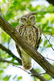 The little owl in natural habitat (Athene noctua) Royalty Free Stock Image