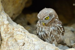 The little owl in natural habitat (Athene noctua) Royalty Free Stock Photo