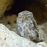 The little owl in natural habitat (Athene noctua) Stock Photo