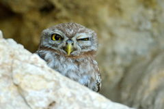 The little owl in natural habitat (Athene noctua) Royalty Free Stock Photos