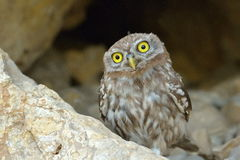 The little owl in natural habitat (Athene noctua) Stock Images