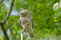 The little owl in natural habitat (Athene noctua) Royalty Free Stock Photography
