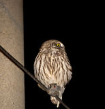 Little Owl at Night Stock Photos