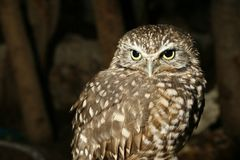 A little owl at night. stock image
