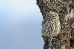 Little owl on an old tree. Stock Image